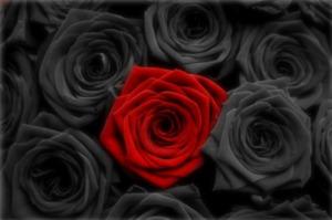 Black-Rose-02
