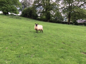 A Sheep Near Winchcombe