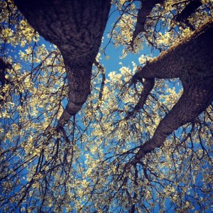 Cottonwoodflowers